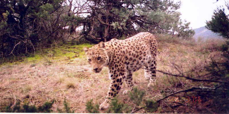 Caucasian Leopard (Panthera pardus saxicolor) © NACRES, Georgia
